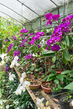 Orchid Nursery Royalty Free Stock Photography