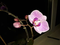 Orchid/Орхидея Royalty Free Stock Photography