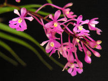 Orchid: Oesterdella. Orchid specie, terrestrial, from Central America Stock Photos
