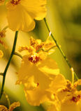 Orchid Oncidium Royalty Free Stock Photography