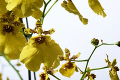 Orchid Oncidium Royalty Free Stock Photo