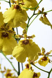 Yellow Oncidium Orchid Royalty Free Stock Image