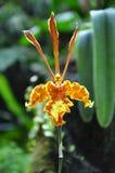 orchid oncidium papilio κίτρινο Στοκ Εικόνα