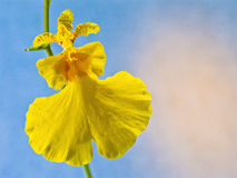 Orchid: Oncidium Varicosum Royalty Free Stock Photography
