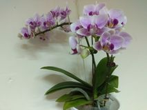 Orchid, one of the Four Gentlemen in Chinese art royalty free stock photo