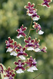 Orchid, one of the largest botanical families Royalty Free Stock Images