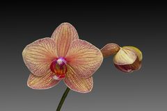 Orchid open and closed flower Phalaenopsis Royalty Free Stock Images