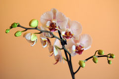 Orchid on orange background. A white orchid flower against orange background Stock Image