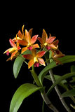 Orchid orange. Orange orchid on black background Royalty Free Stock Photography