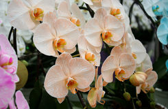 Orchid orange blossom flower tropical Royalty Free Stock Photography