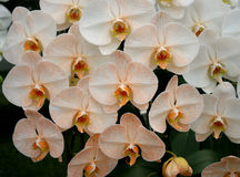 Orchid orange blossom flower tropical Stock Images