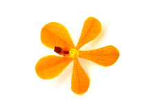Orchid. Orange orchid Flower isolated on white background Royalty Free Stock Photo