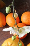 Orchid with oranges and  grapefruit. Stock Image