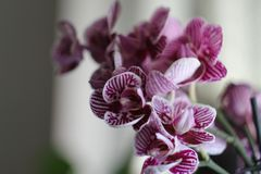 Orchid. Pink indoor Royalty Free Stock Photography