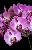 Orchid or Orchidaceae Stock Photography