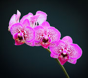 Orchid. S isolated on a dark blue background royalty free stock photography