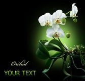 Orchid Over Black Royalty Free Stock Photography