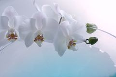 Orchid over blue. Orchid close up over blue water in glass vase Stock Photo