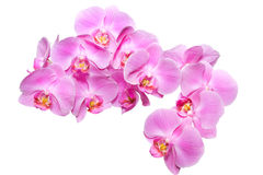 Orchid over white. Closeup of pink orchid on white background royalty free stock photo
