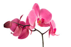 Orchid over white Royalty Free Stock Images