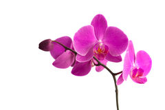Orchid over white Stock Photos