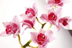 Orchid på vit bakgrund Royaltyfri Bild
