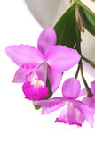 Orchid Panicle Stock Photos