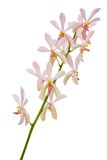 Orchid Panicle Royalty Free Stock Image