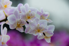 Orchid panicle Stock Photography