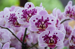 Orchid panicle Stock Images