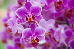 Orchid panicle Royalty Free Stock Photography