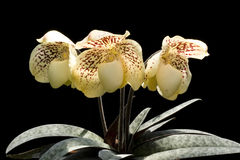 Orchid Paphiopedilum Royalty Free Stock Photo