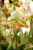 Orchid, PAPHIOPEDILUM Stock Image