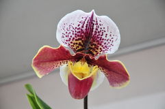 Orchid Paphiopedilum in blooming. Orchid flower of paphs - paphiopedilum species macro detail royalty free stock images