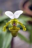 Orchid of the Paphiopedilum genus Stock Photos