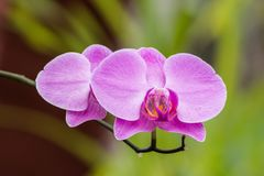 Orchid in  Sri Lanka Stock Images