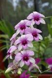 Orchid. Peradeniya botanical garden Sri lanka royalty free stock photography