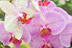 Orchid petal flowers royalty free stock photo