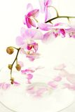 Orchid with petals Stock Photography