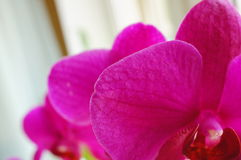 Orchid petals Stock Images