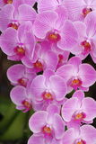 Orchid_phal Fotografia Stock