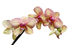 Orchid  (Phalaenopsis). Branch of  flowers of an orchid on a white background Stock Photos