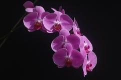 Orchid phalaenopsis. Isolated on black background Royalty Free Stock Image