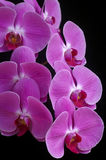 Orchid phalaenopsis Royalty Free Stock Images