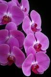 Orchid phalaenopsis. Isolated on black background Royalty Free Stock Images