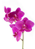 Orchid phalaenopsis Stock Photos