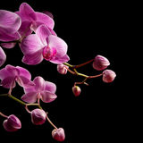 orchid phalaenopsis Στοκ Εικόνες