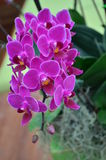 Orchid  Phalaenopsis. Take a Photo with Dasada Gallery path Bigmountian Prachin Buri Province Stock Image