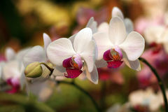 Phalaenopsis orchid. With white flowers and red flesh. Most s are hybrids and breeders each year by crossing cultivated a new variety Stock Photography