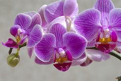 Orchid phalaenopsis. A sprig blossoming orchid phalaenopsis royalty free stock image